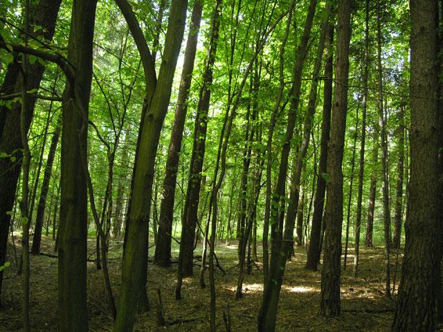 odcinek lasu bukowego