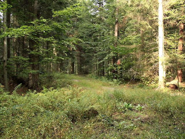 wchodzimy do bukowego lasu